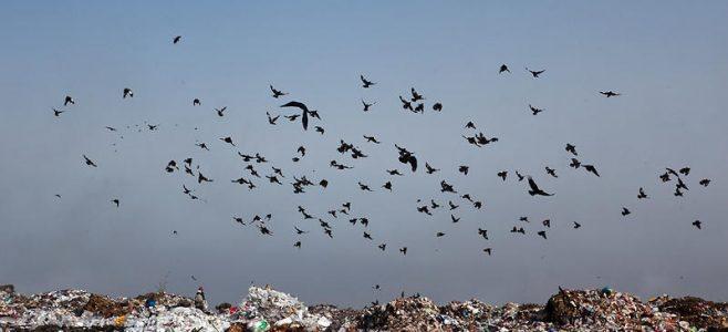 свалка птицы
